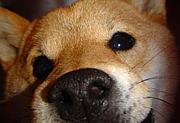 バイリンガルの柴犬