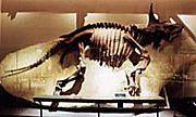 ケラトプス類 Ceratopsidae