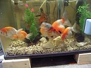 集まれ金魚好き!
