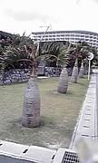 トックリ椰子 Bottle Palm友の会