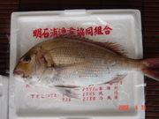 明石のお魚大好き
