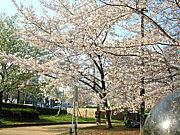 扇町公園 お花見会