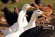 鳥を食べる 家禽・ジビエ