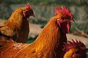 家禽全般 鶏 鴨 アヒル