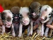 イベリコ豚orイベリ子豚