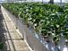 イチゴ狩り 徳江いちご農園