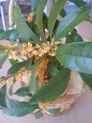 キンモクセイの香りフェチ
