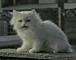 ソフトバンクの白い猫