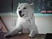 ソフトバンクの犬
