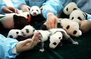 パンダちゃんの赤ちゃん