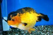 I LOVE 金魚