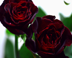 †黒薔薇†ブラック・バッカラ