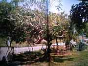 がじゅまるの樹