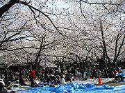 ☆.静岡☆花見開催(*´▽`*)