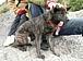 【静岡富士】甲斐犬を探してます