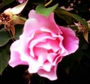 薔薇と紅蓮