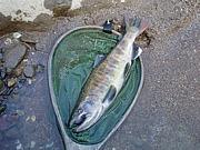 陸封山女魚