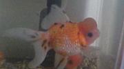 高頭パール 金魚好き