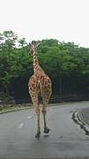 動物園でキリンさんが一番好き!