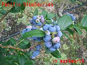 Pacific blueberries