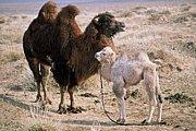 ラクダ、らくだ、駱駝!!
