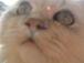 猫伝染性腹膜炎撲滅を願う会。