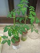 水耕栽培で簡単家庭菜園