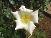 B:Lily-rose