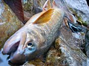 埼玉の渓流釣り