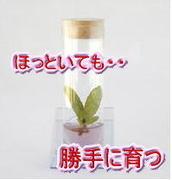 インビトロガーデン *瓶詰栽培*