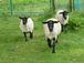 子羊たちのウォーキング教室