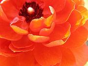 *Ranunculusฺ* mixi annex