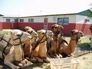 CAMEL オンライン