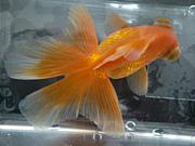 ☆金魚in関西☆東海☆