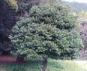 光 橘(ヒカリタチバナ)