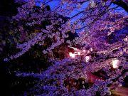 藍桜(あいざくら)