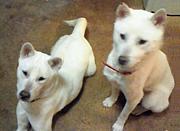 紀州犬アーカイブ