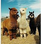 alpaca ♥♦