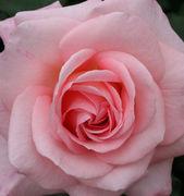 ピンクのバラな人