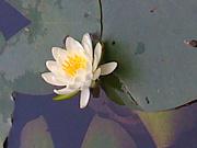 蓮の花 ひもろぎ-愛・光・感謝-
