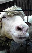 Penta Sheep