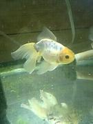 金魚が好きです。