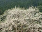 岐阜県桜の名所