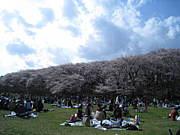 桜は散るから美しい