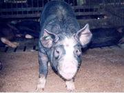 メタボ(on pigs)