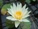 睡蓮/ Nymphaea colorata