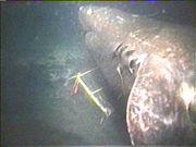 超巨大サメを追う