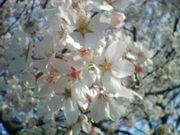 お花見をやろう!<関東>