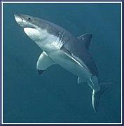 アクアリスト『サメの飼育』