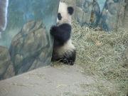 パンダに飼われています